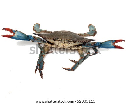 isolated photo of live blue crab in a fight pose from the Chesapeake Bay of Maryland - stock photo