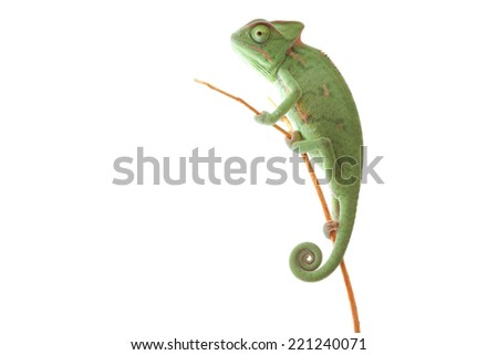 Isolated photography of chameleon - stock photo