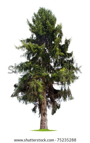 Isolated Pine Tree - stock photo