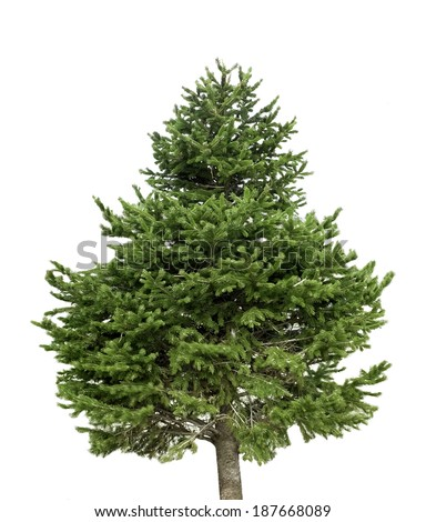 isolated pine tree on a white background  - stock photo