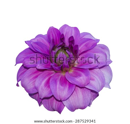 Isolated pink dahlia on white with clipping path - stock photo