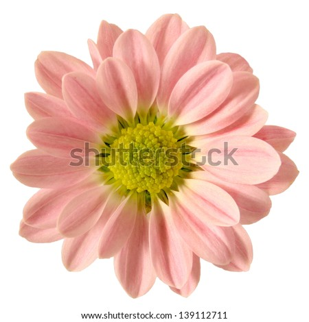 Isolated Pink Daisy - stock photo