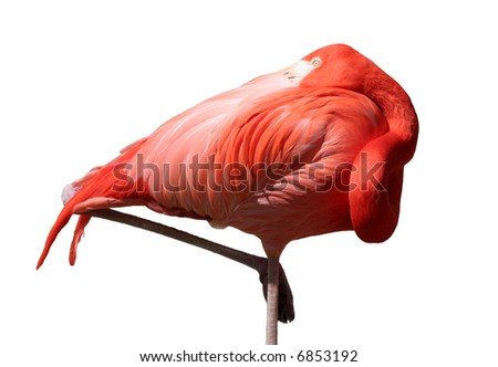 Isolated Pink Flamingo - stock photo