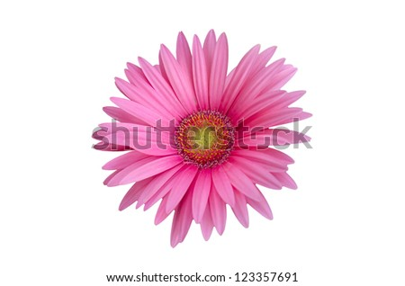 isolated pink gerbera, daisy on white background