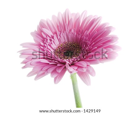 isolated pink ( gerbera - member of daisy family ) flower