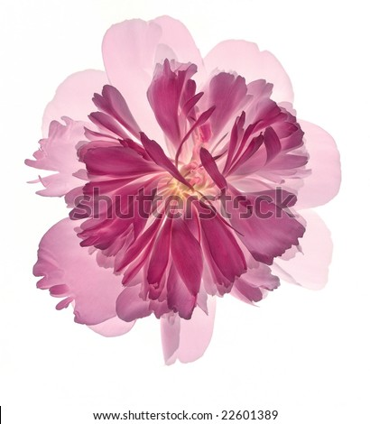 Isolated pink peony flower on white background. For other similar images from the series, please, check my portfolio. - stock photo