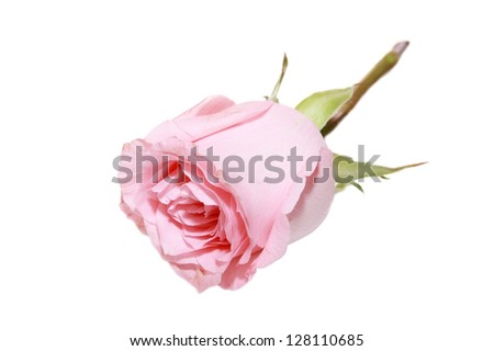 isolated pink rose in white background - stock photo