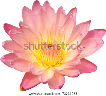 Isolated pink-yellow water lily on white background - stock photo