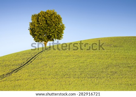 Isolated plane tree in a Tuscan hill with copy space