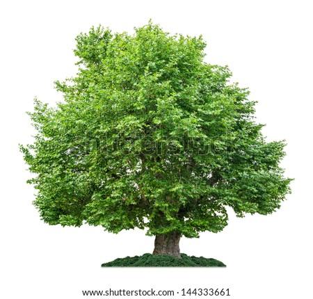 isolated plane tree on a white background - stock photo