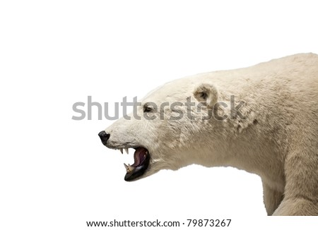 Isolated polar bear - stock photo