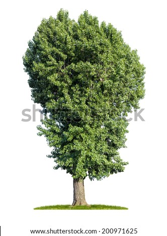 isolated poplar tree on a white background - stock photo