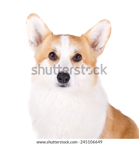 isolated portrait dog on white background