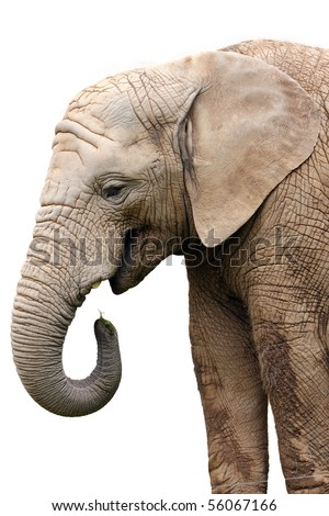 isolated portrait elephant at food on white background - stock photo