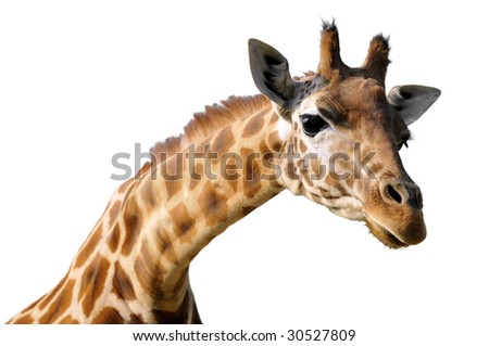Isolated portrait of giraffe