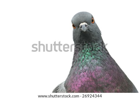 Isolated portrait of pigeon