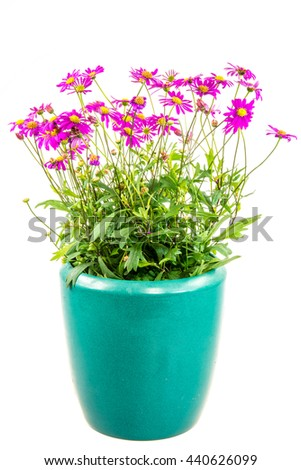 Isolated potted blue dasy flower (Brachyscome Multifida Magenta Delight) - stock photo