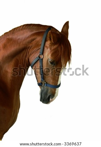 Isolated profile of chestnut horse wearing halter - stock photo