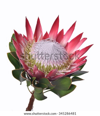 Isolated Protea cynaroides flower, La Gomera, Canary Islands