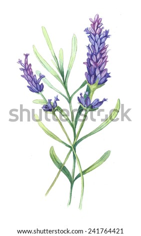 Isolated Provence lavender flowers - stock photo