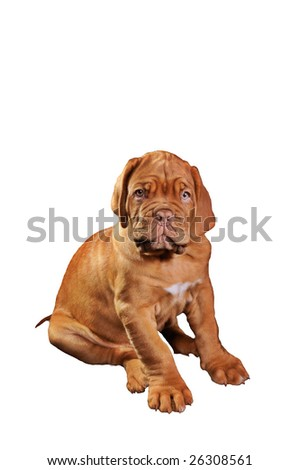 Isolated Puppy of Dogue De Bordeaux - stock photo