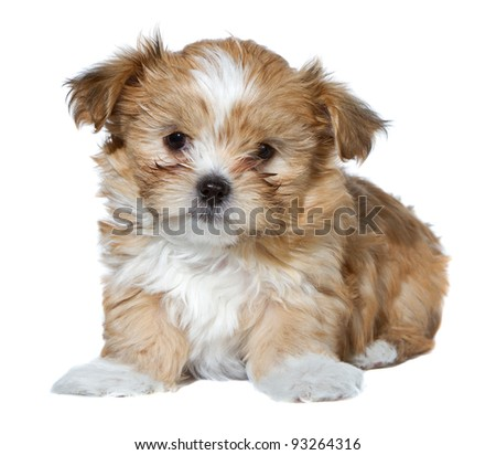Isolated puppy on white