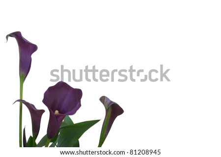 Isolated Purple Calla Lily Background - stock photo