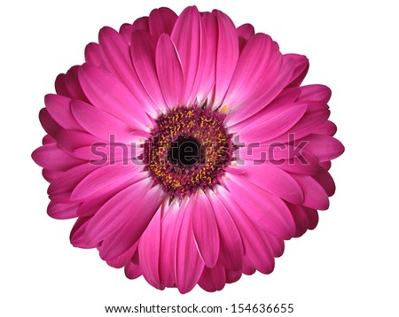 Isolated Purple Gerbera Daisy