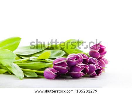 Isolated Purple Tulips. - stock photo