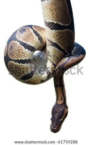 isolated python snake wild animal - stock photo