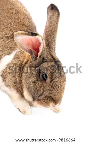 Isolated rabbit looking down