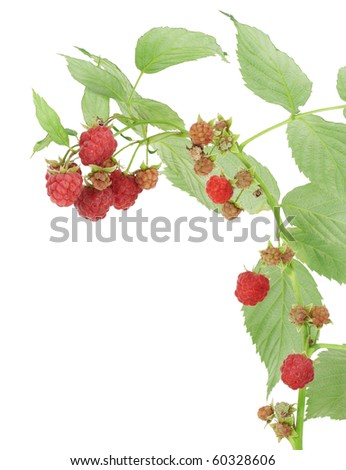 Isolated raspberry on branches with leaves postcard macro. - stock photo