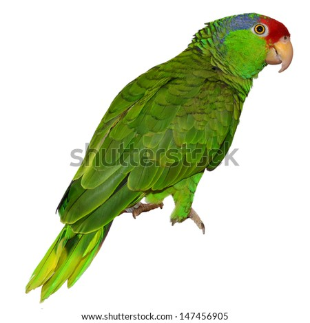 Isolated Red Crowned Amazon - stock photo