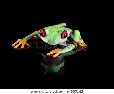 Isolated red eyed tree frog reflected on black - stock photo