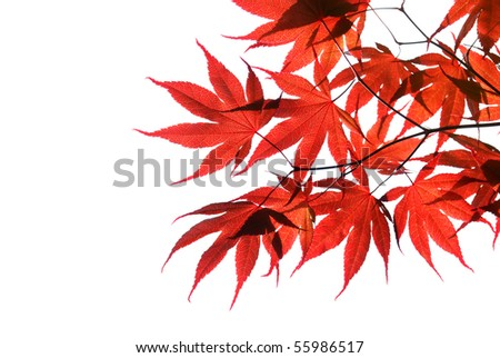 isolated red Japanese maple - stock photo