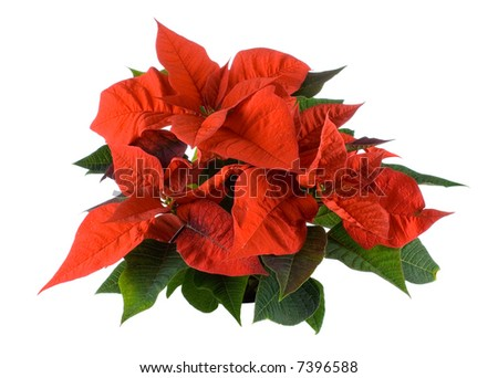 isolated red poinsettia