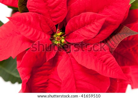 isolated red poinsettia the feast of Christmas