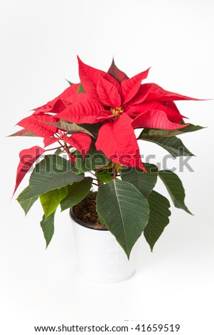 isolated red poinsettia the feast of Christmas - stock photo