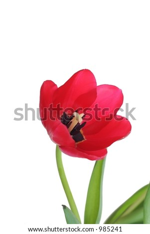 Isolated red tulip