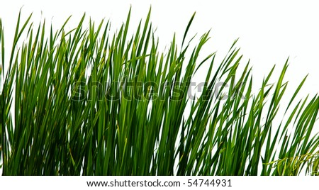 Isolated Reeds on shore in swamp wetland - stock photo