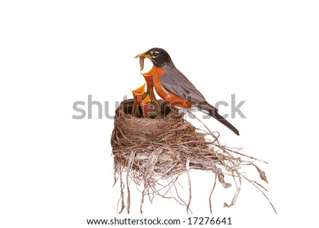 "Isolated, ""Robin red breast"" feeding her three babies in a nest. - stock photo"