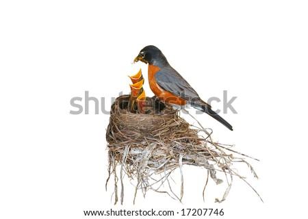 "isolated, ""Robin red breast"" feeding her three babies in a nest. focus on the babies - stock photo"