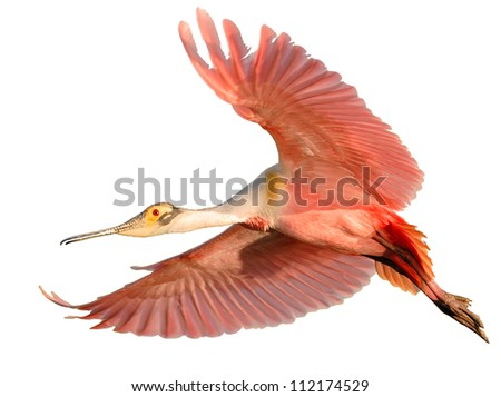 Isolated Roseate Spoonbill in flight