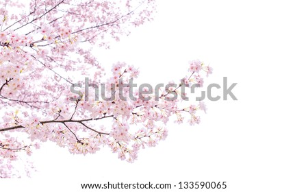 Isolated sakura tree - stock photo