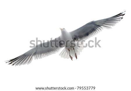 Isolated seagull on the white background - stock photo