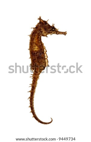 isolated seahorse over white background
