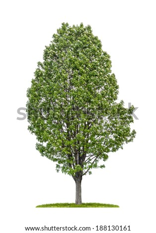 isolated service tree on a white background - stock photo