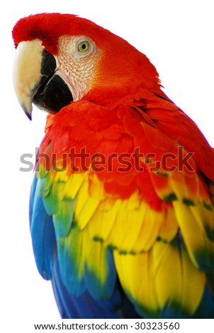 isolated shot of a red blue macaw bird - stock photo