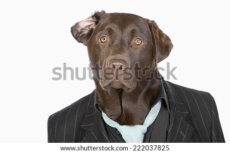 Isolated Shot of a Smart Chocolate Labrador in Pinstripe Jacket - stock photo