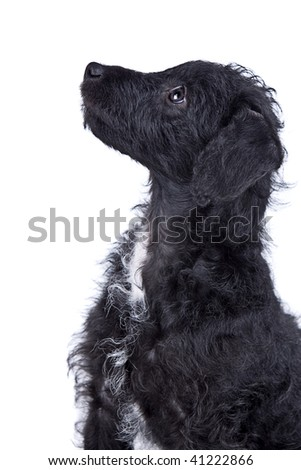 Isolated Shot of an Adorable Jack-a-Doodle Puppy